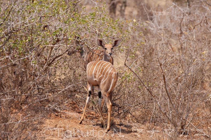 雌も大きな群れは作らないようだが・・・親子、だろうか。 (Tsavo West NP)