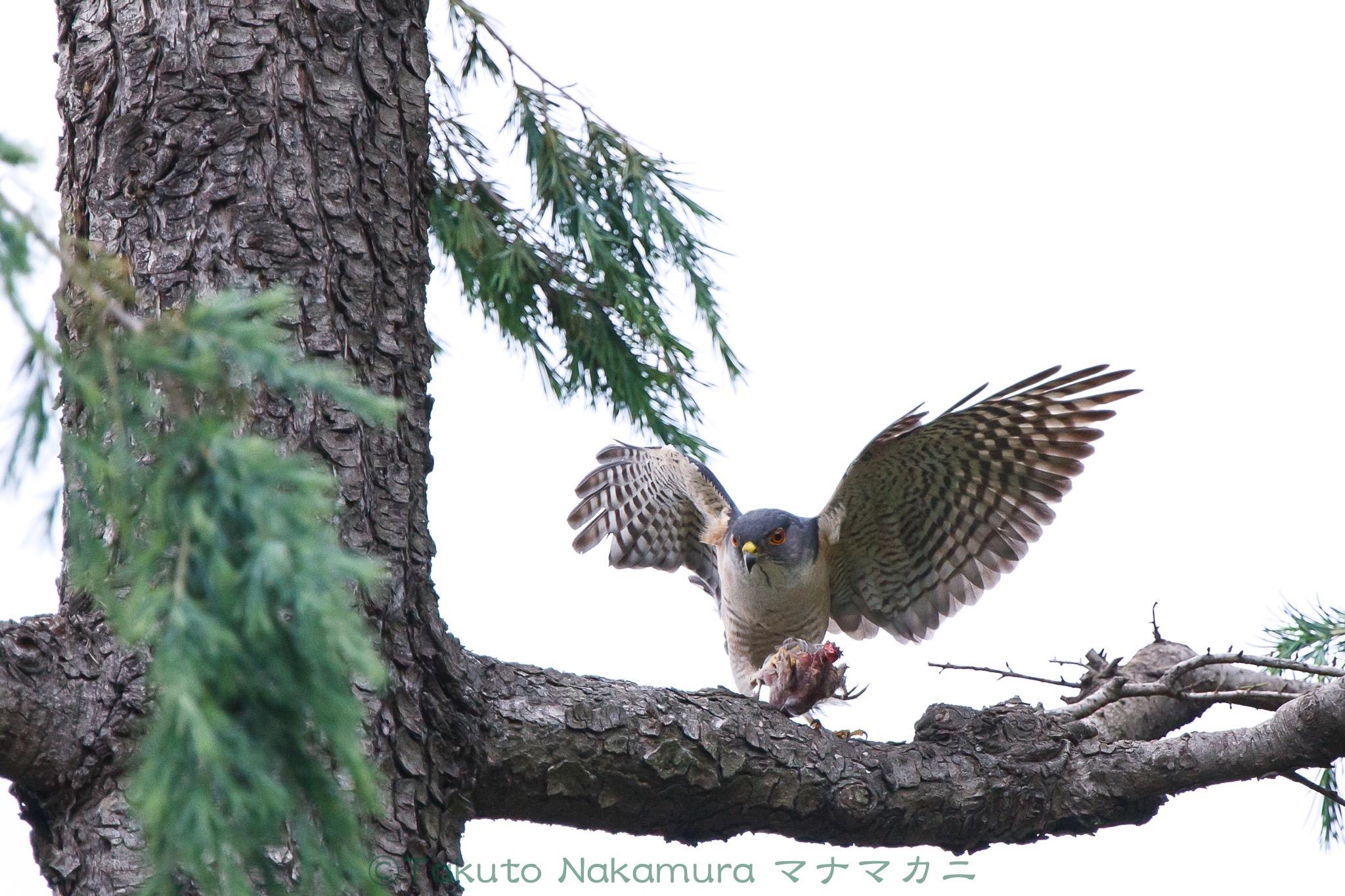 営巣中、狩りはもっぱらオスの仕事。「獲って来たぜ、かあちゃん!」 ※クリックすると関連Blog記事が表示されます。2020年6月足立区