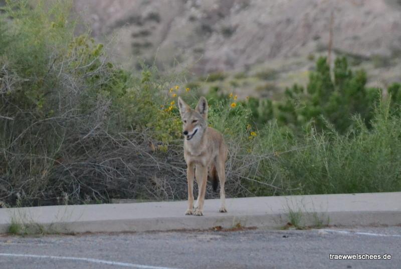 ...und die Kojoten...