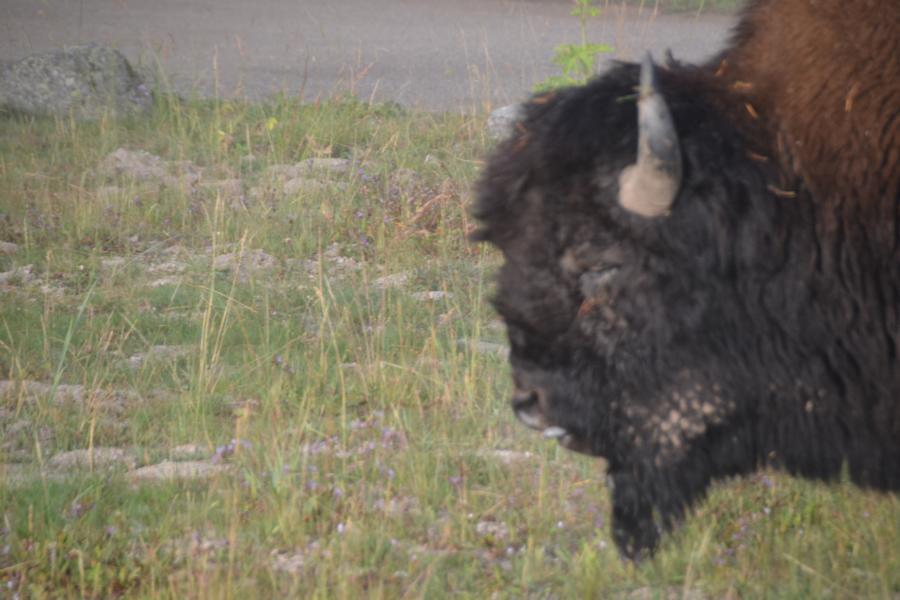 Büffel im Yellostone