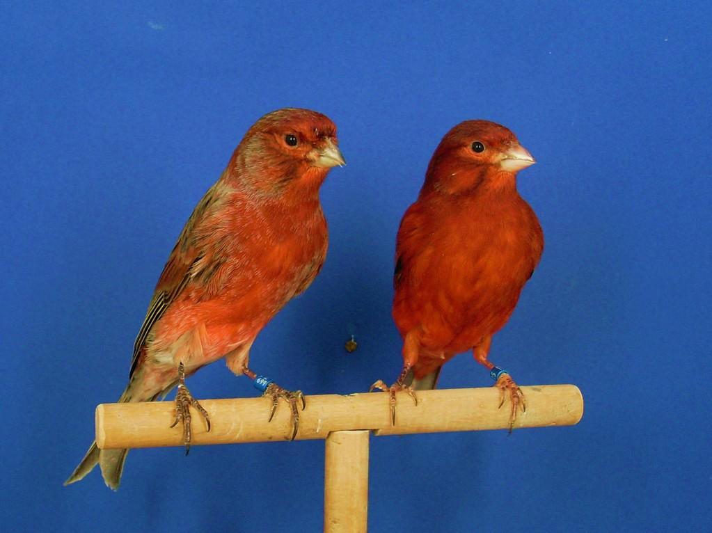 Opal Rojo mosaico - Página web de aviarioacflores
