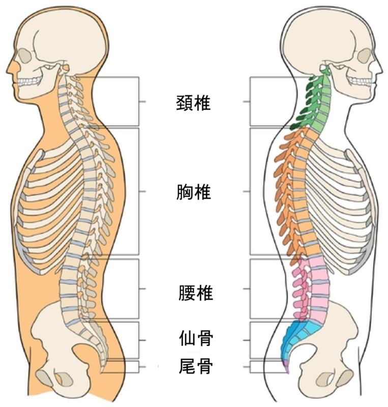 胸椎を感じ取る - シャキット!-札幌にあるレッドコード完備のフィットネス