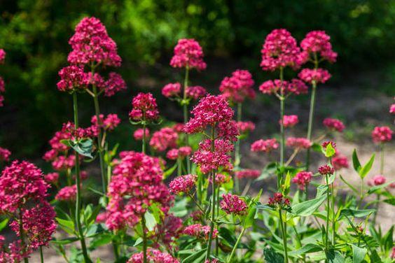 Valériane rouge - Centranthus ruber