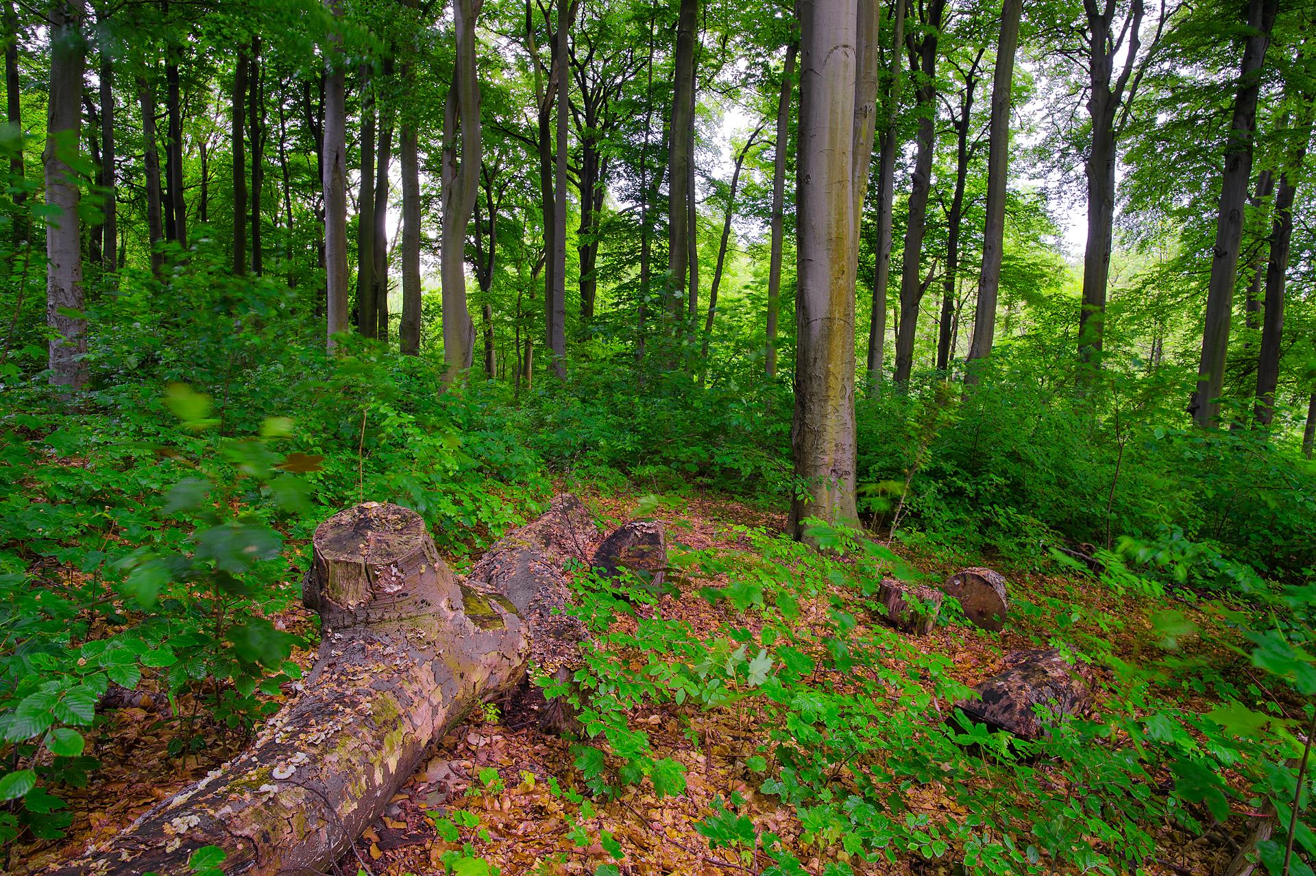 Rotbuchenwald Germany
