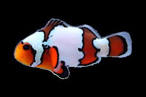 スノーフレークオセラリス