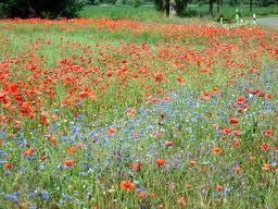 Alles ist grün..der Die Feldblumen zeigen ihre wunderschöne Pracht....Juni