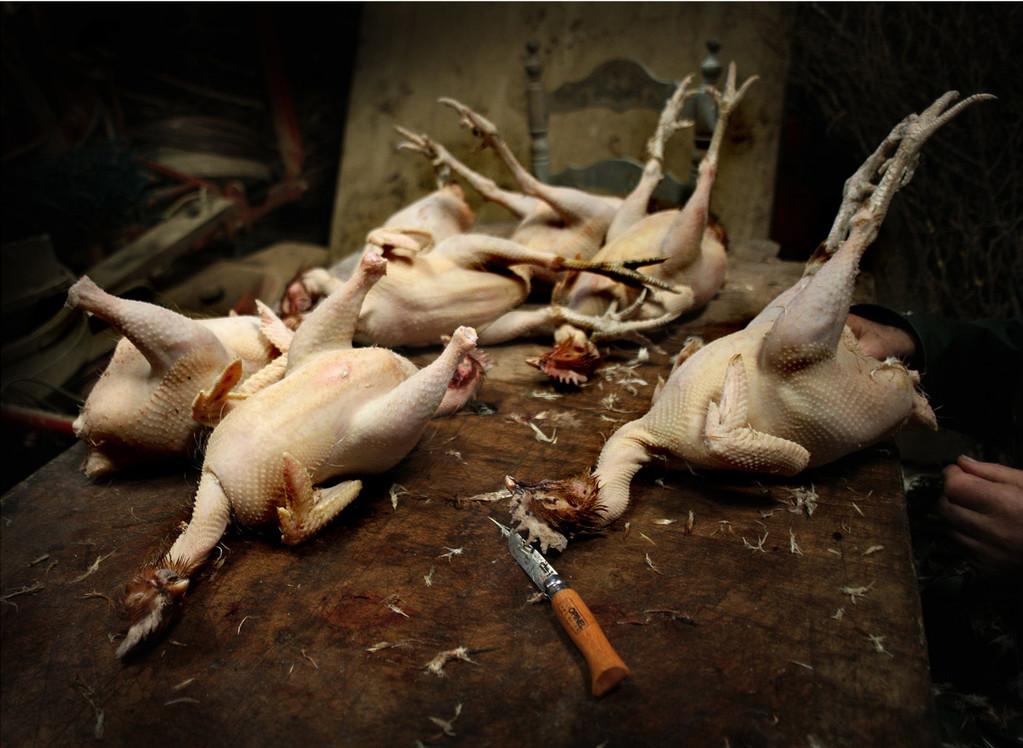 Les poulets©Pascal Lecoeur
