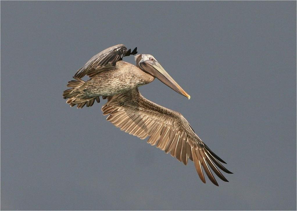 Pelican - Roland Soul