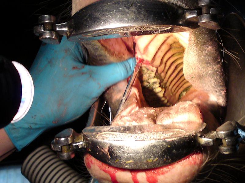 Die Wolfszähne werden aus dem Oberkiefer gelöst.