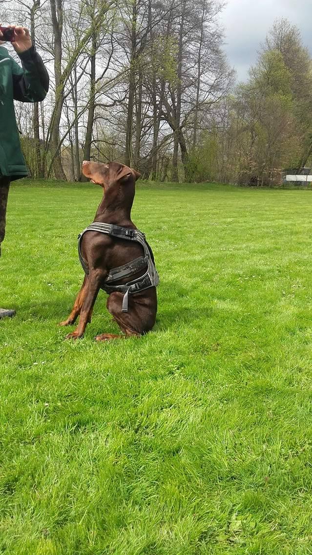 Dobermann Hündin - vollkupiert / mit kupierten Ohren, aber hängend und komplett kupierten Rute aus dem Tierheim