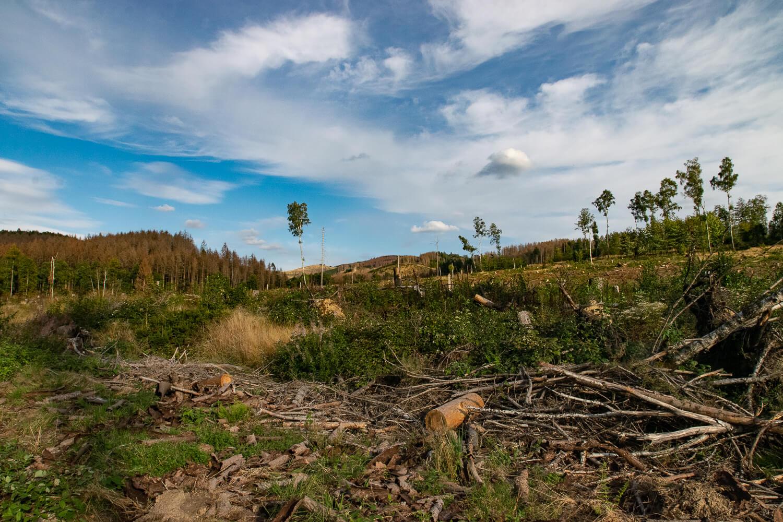 Waldsterben durch den Borkenkäfer