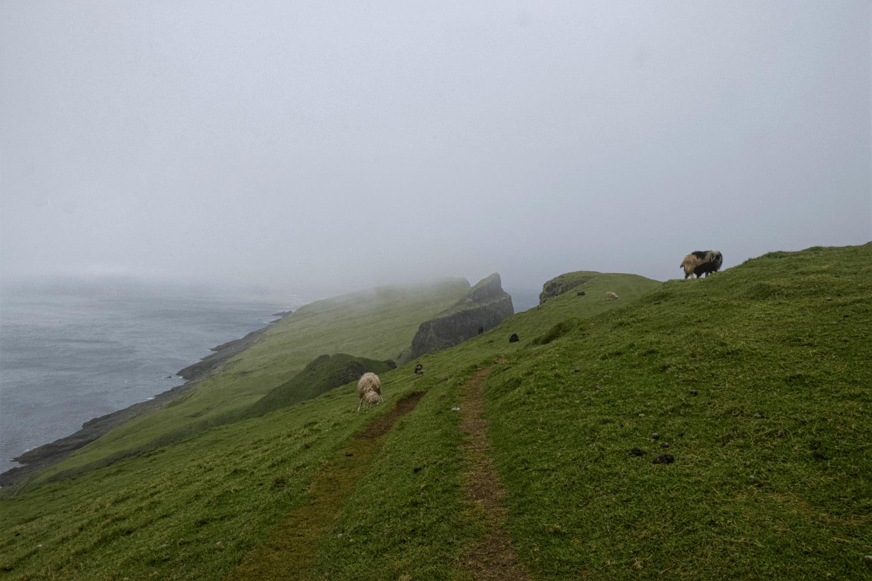 Schafe seht ihr auf den Färöer Inseln an jeder Ecke