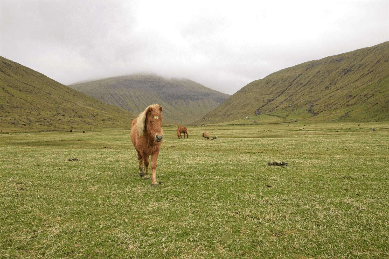 Neben vielen Schafen laufen auch einige süße Ponys auf den Färöern herum