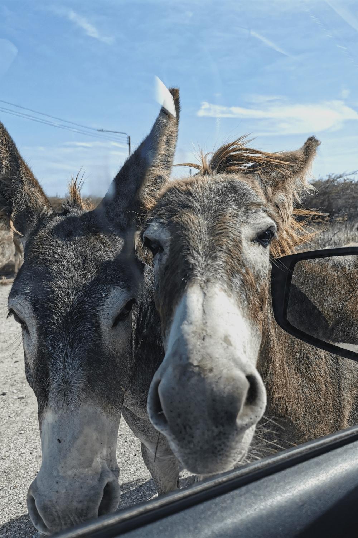 Frei laufenden und zutrauliche Esel auf Aruba
