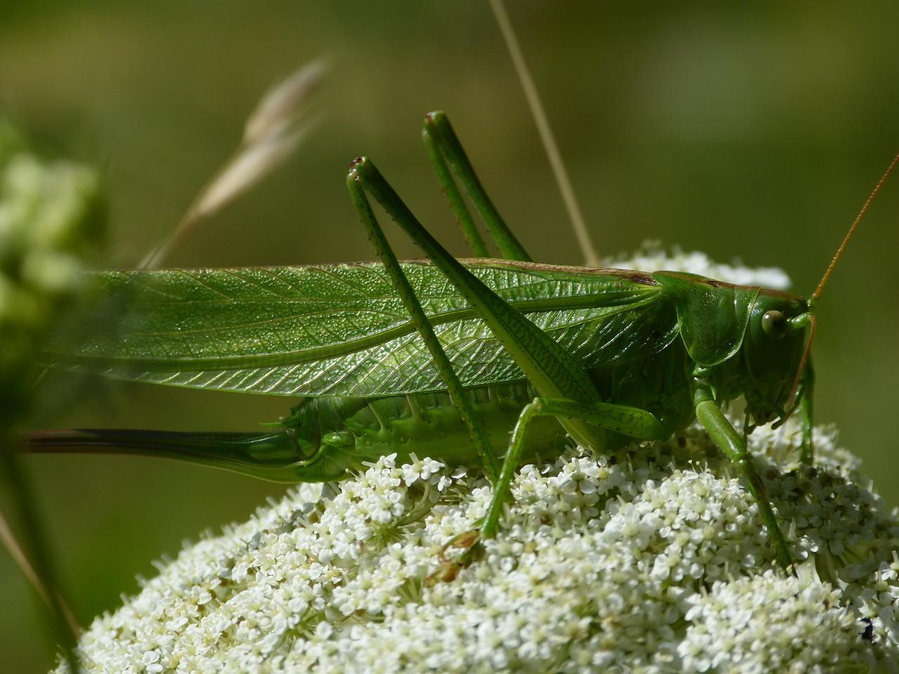 Grüne Laubheuschrecke