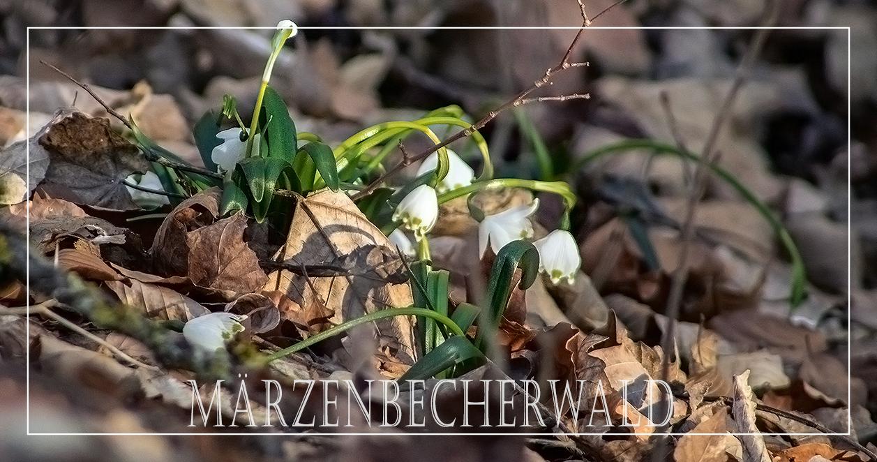 Der Märzenbecherwald, Hersbrucker Schweiz, Franken