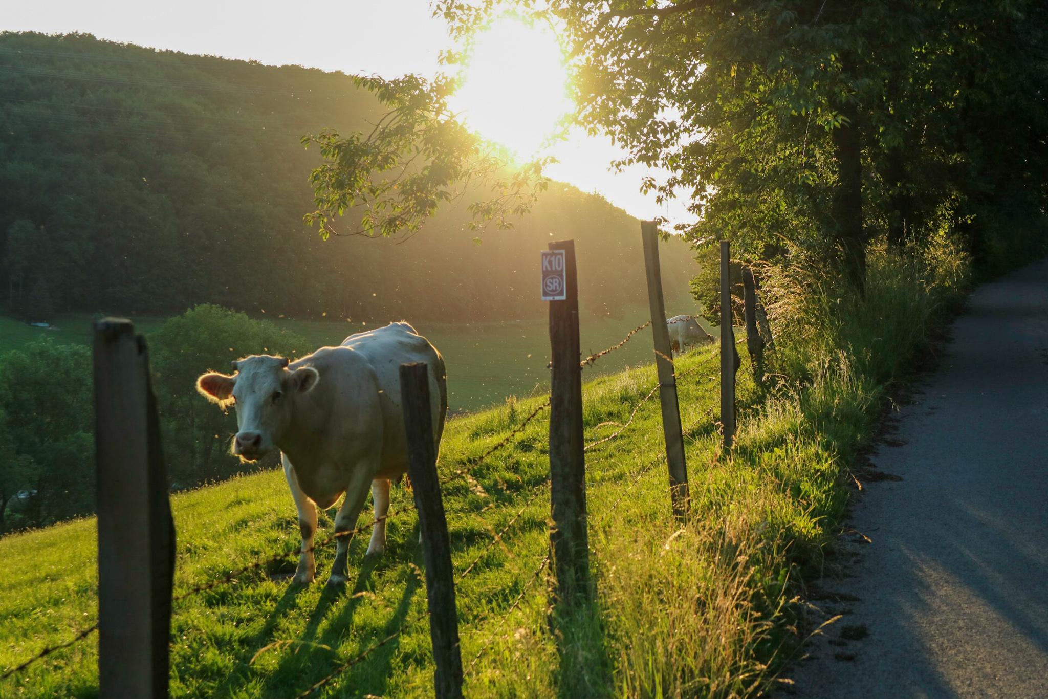 Verena Steilmann - Kuh im Sonnenlicht - Juli 2020