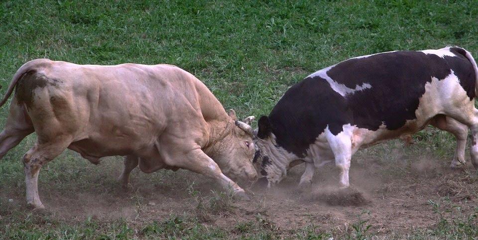 Woensdagmiddag 11 maart komen de stieren weer naar Poeldijk om een toernooi te spelen. We starten om 13.00 uur kosten 1.50 euro.