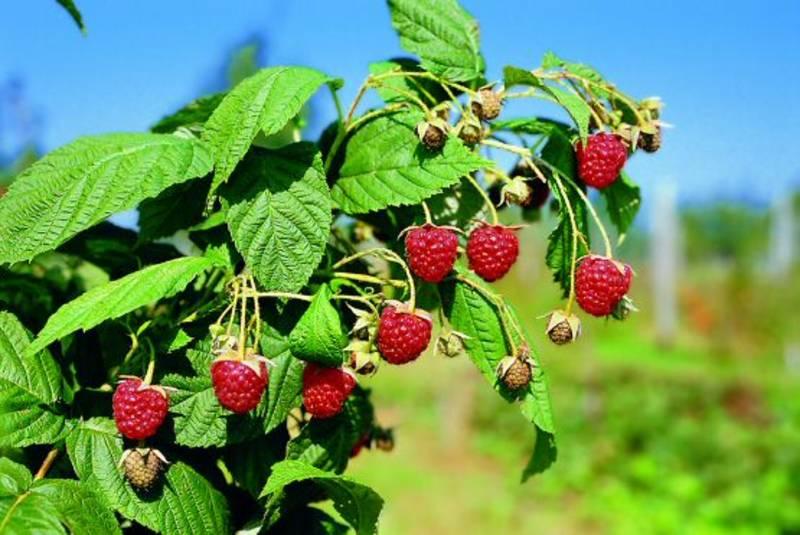 ... Ernte und Einmaischen der Frucht...
