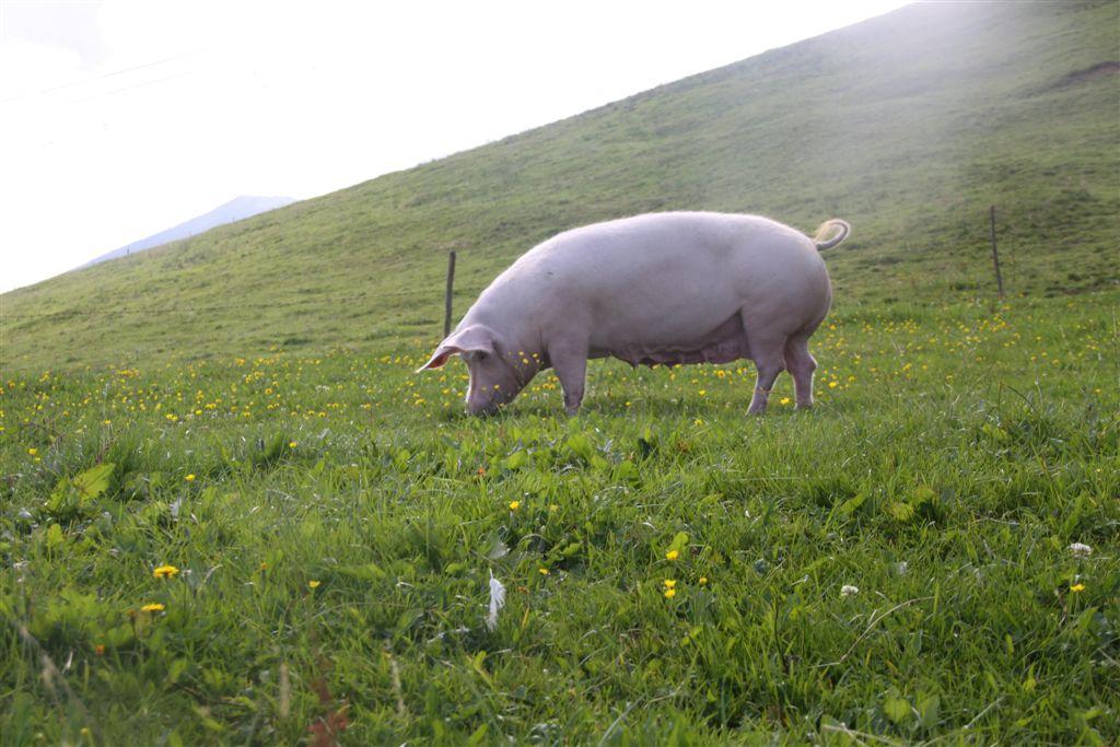 Unsere Schweinemama