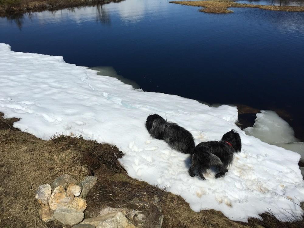 Und ganz toll finden wir das Wälzen auf Eis und Schnee...hier irgendwo in Norwegen...