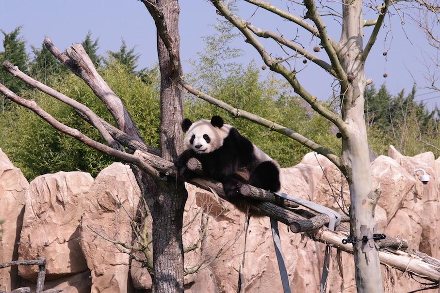 Le réveil de Huan Huan.