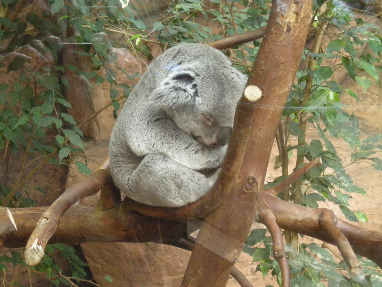 Le koala....en plein effort.