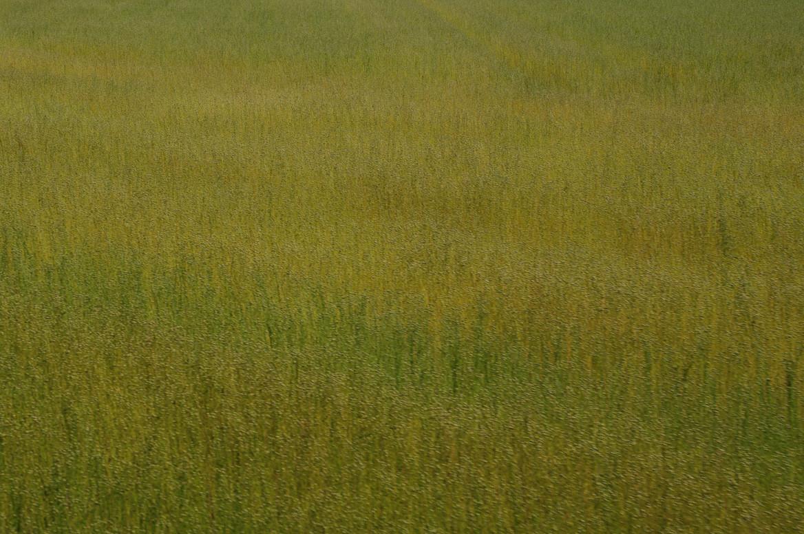 les champs de lin
