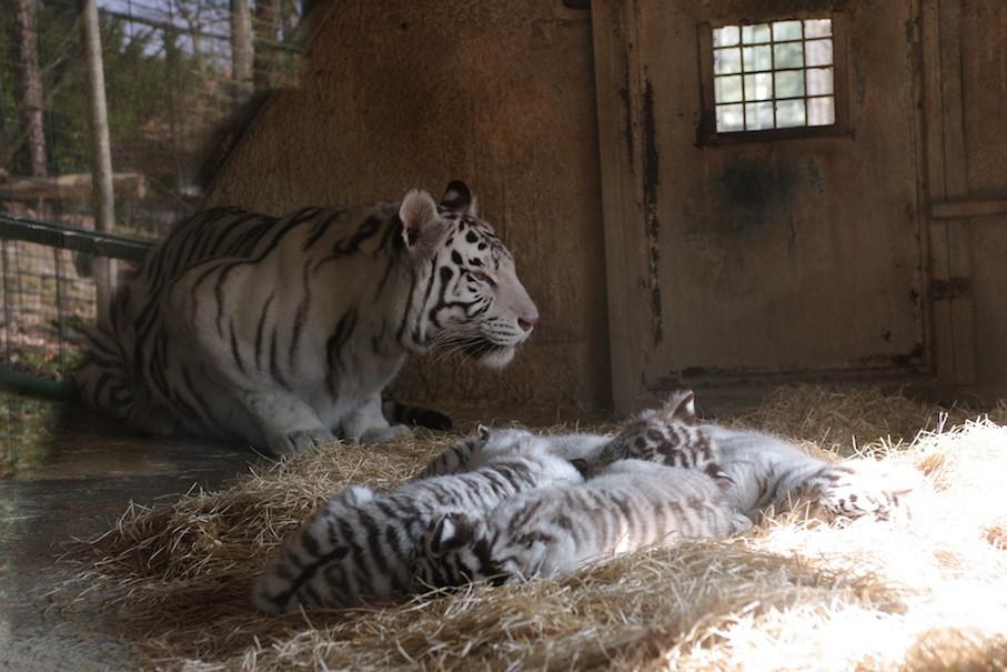 Tigresse et ses tigrons de quelques jours.