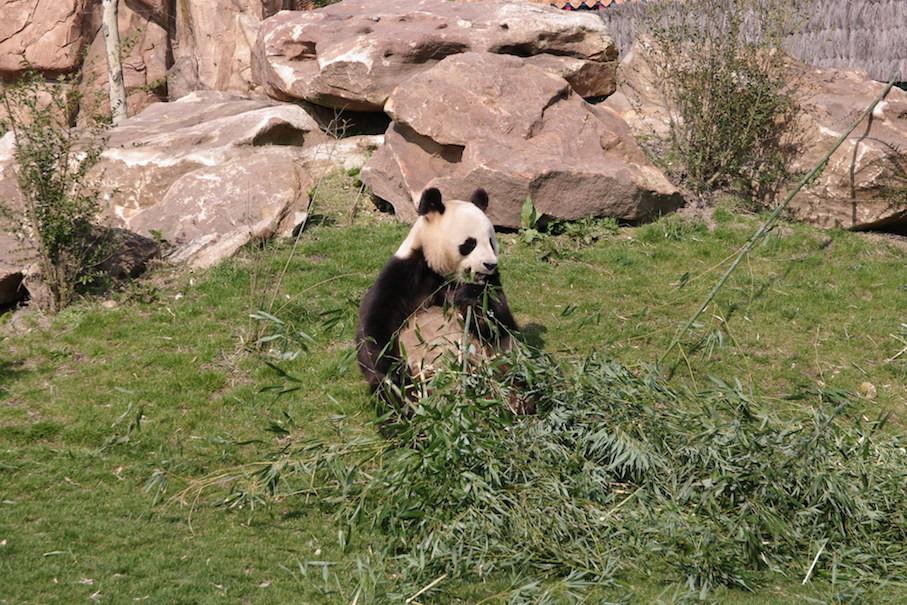 Le repas de Yuan Zi : quelques kilos de pousses de bambou.