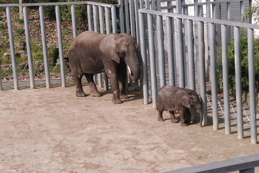 Maman éléphant et son éléphanteau de quelques mois.