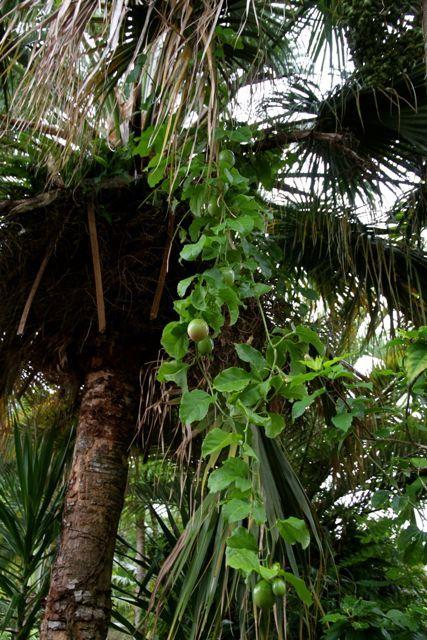 Passiflora edulis - Maracuja, eine Kletterpflanze