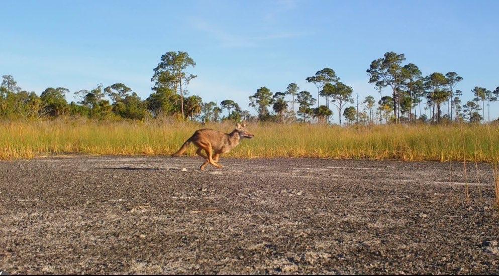 Coyote in Carlton Reserve trail cam, by Jacob Klasinski