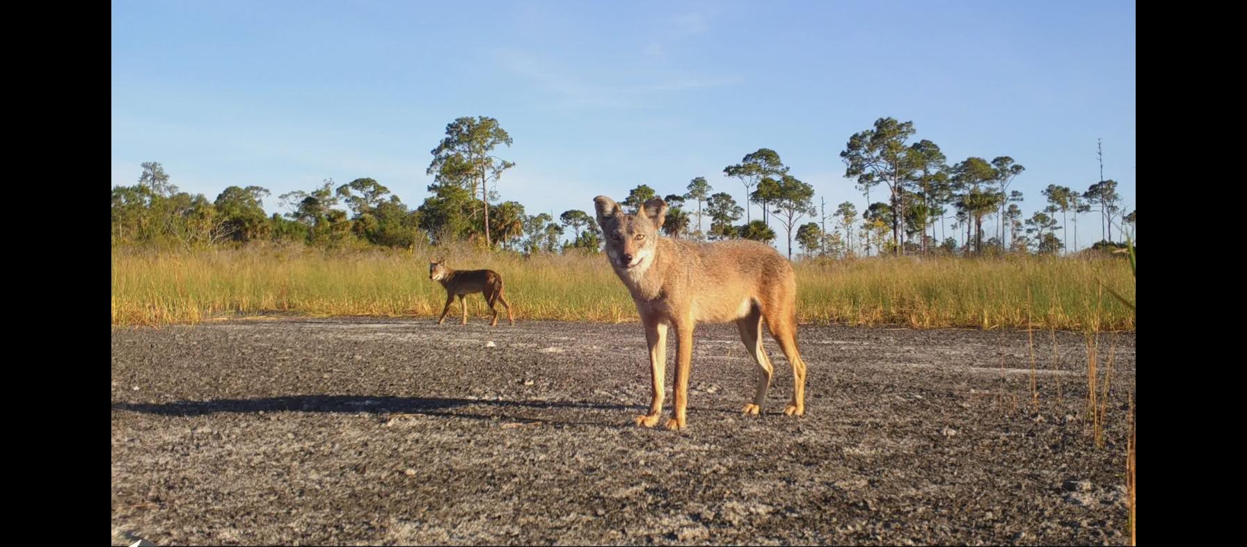 Coyotes in Carlton Reserve trail cam, by Jacob Klasinski