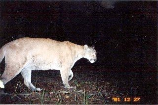 Male panther in Carlton Reserve Dec. 2001