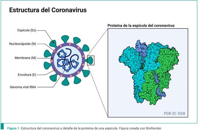 Fig.1 Estructura del coronavirus y detalle de la proteina de una espicula. Creada con BioRender, fuente Manual del Neurologo general Para Covid-19