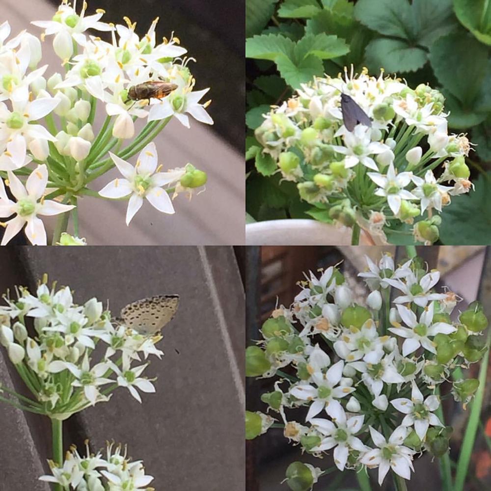 昨年ニラの花に来ていた虫たち