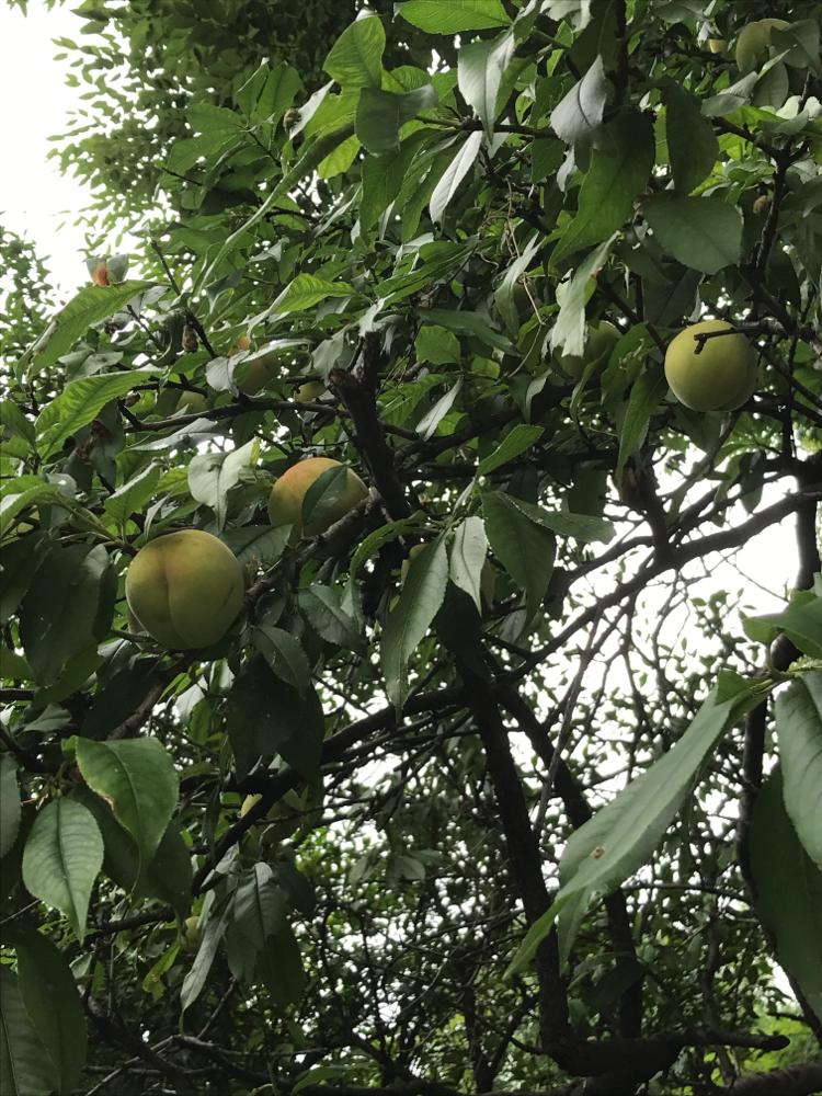 木の実は桃?梅?