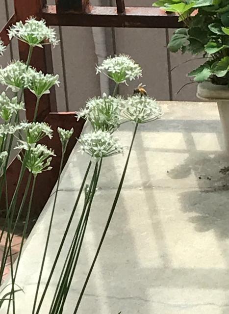 ミツバチとニラの花