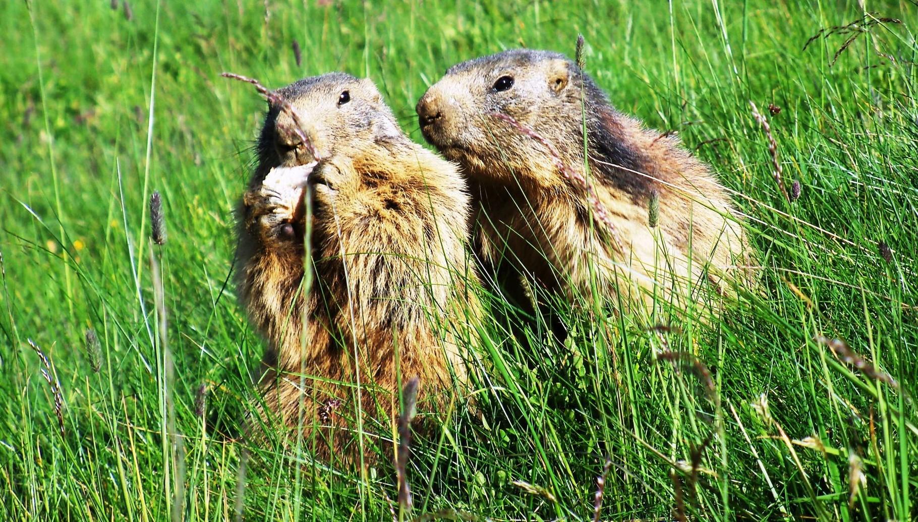 Goûter des marmottes