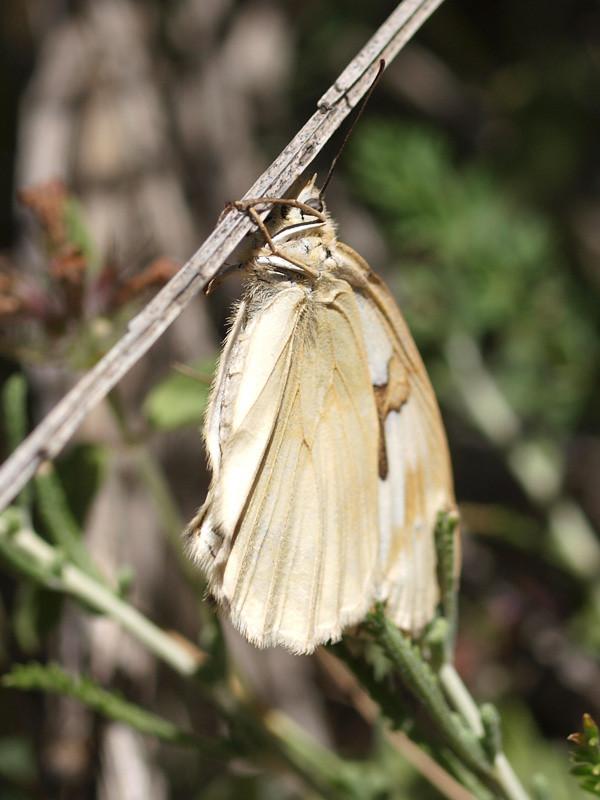 Melanargia lachesis f.cataleuca