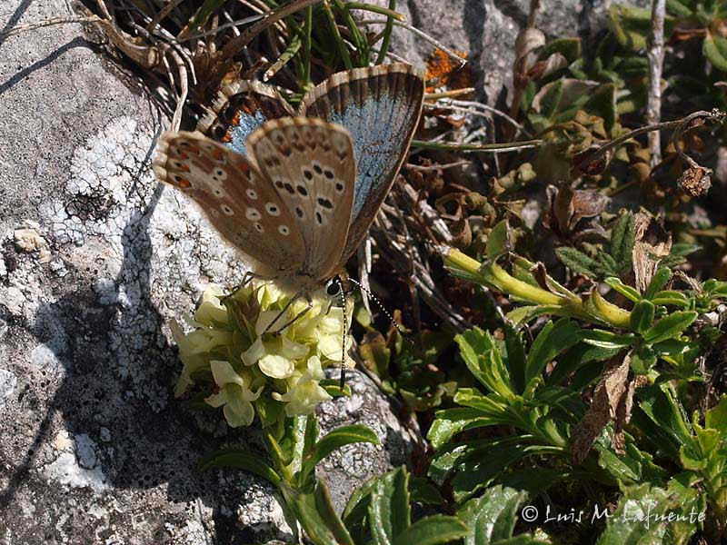 Polyommatus coridon f. syngrapha