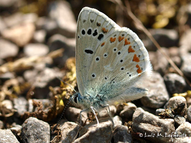 Polyommatus dorylas