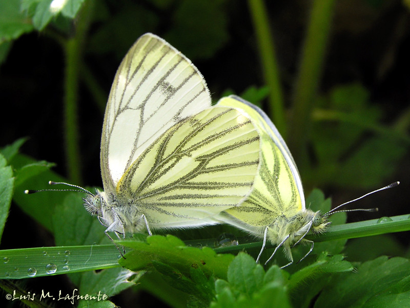 Artogeia pieris napi