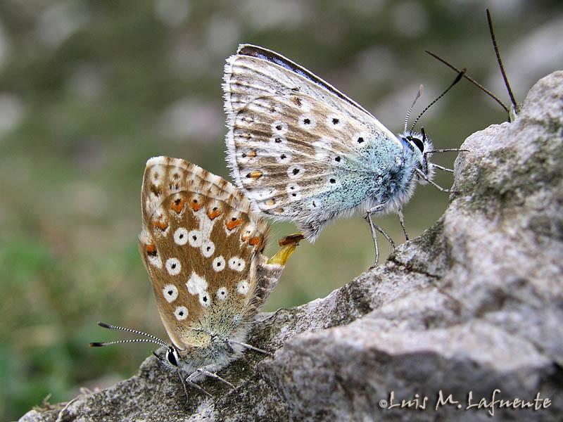 Lysandra coridon asturiensis en cópula