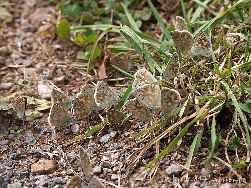 Polyommatus coridon, P.dorylas y A.montensis
