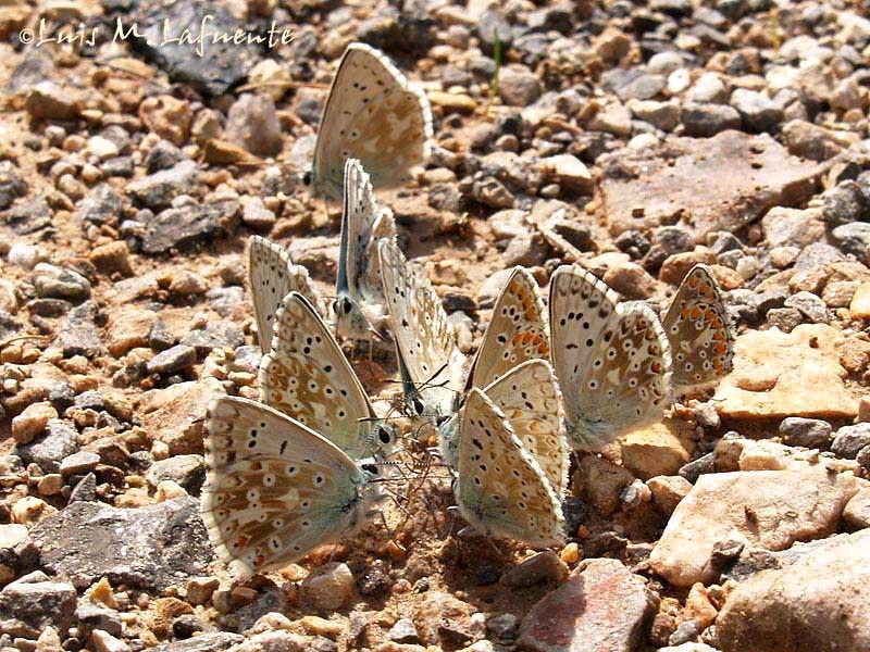 Polyommatus (Meleageria) coridon asturiensis