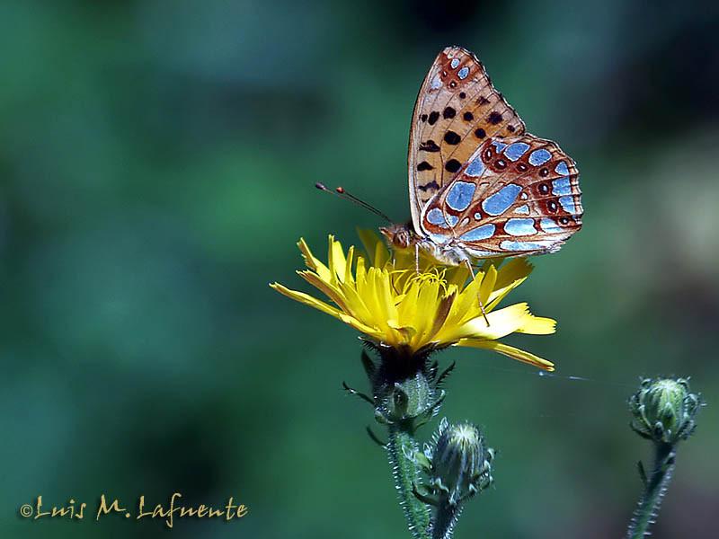 Issoria Lathonia