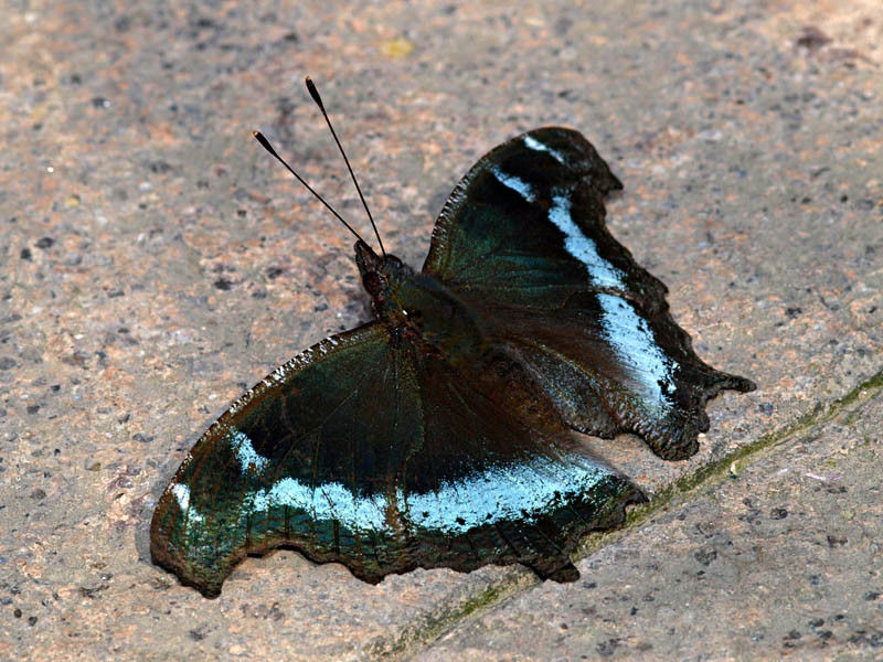 Nymphalis canace