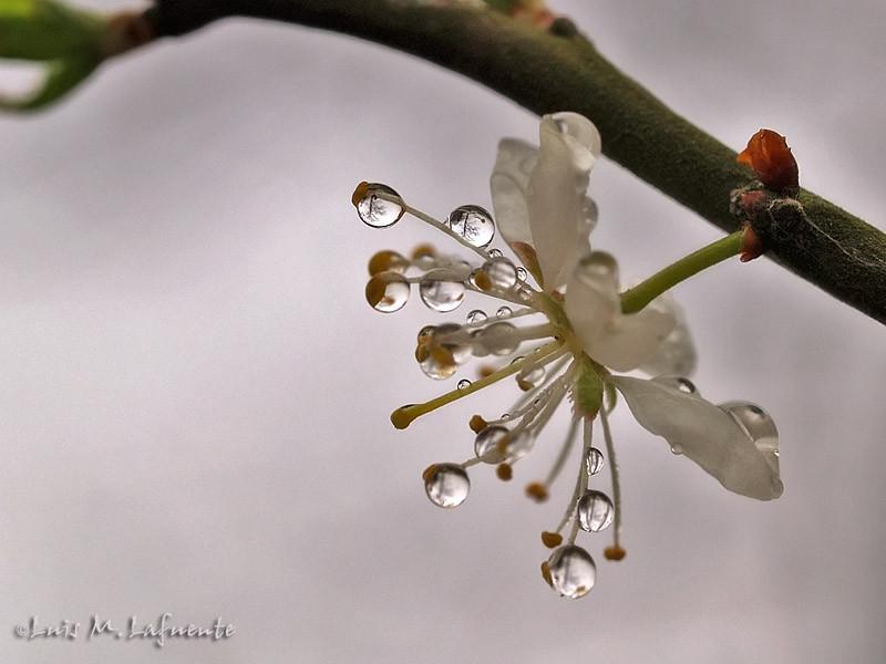 flor de espinera--